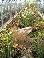 Plantes carnivores du jardin botanique de Lyon (2).jpg