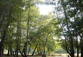Neokaisareia, Pieria - Platanodasos forest near Neokaisareia