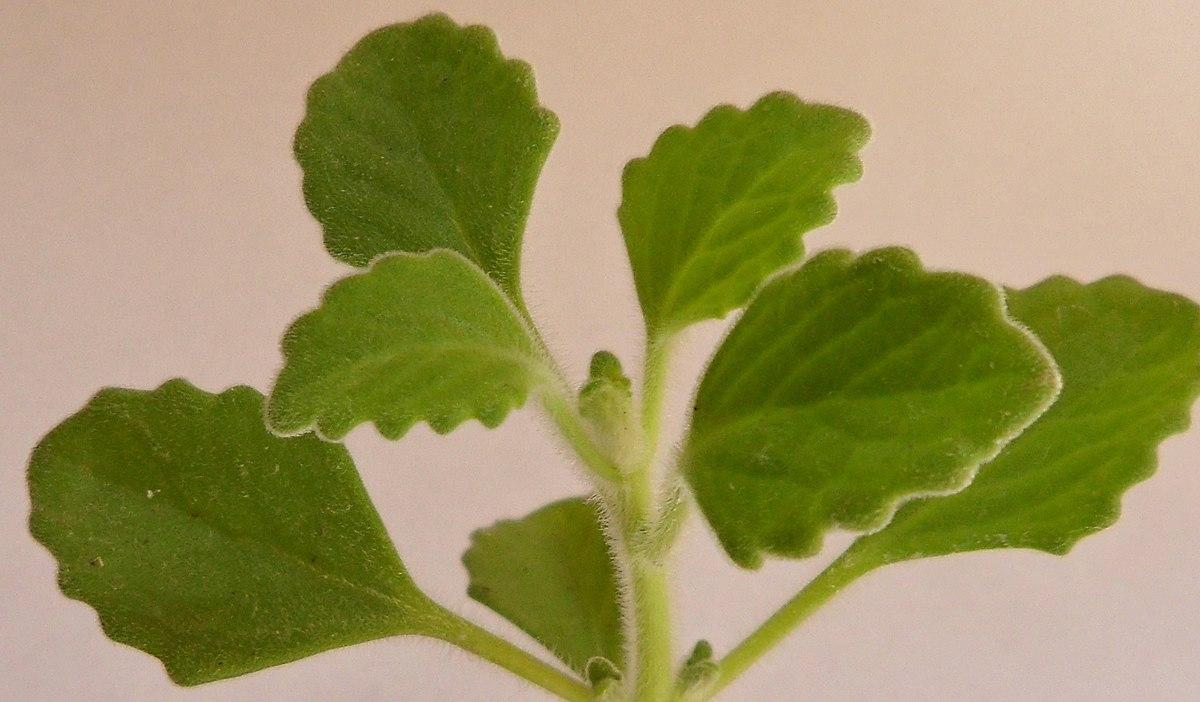 Plectranthus hadiensis - Wikipedia, la enciclopedia libre