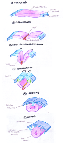 diagrama de espina dorsal placa neural wikipedia  la enciclopedia libre  placa neural wikipedia  la enciclopedia libre