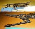Pliosaurus rossicus cast.jpg