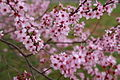 Plum-blossom - West Virginia - ForestWander.jpg