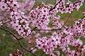 Plum-blossom - West Virginia - ForestWander.jpg