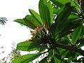 Plumeria alba 0009.jpg