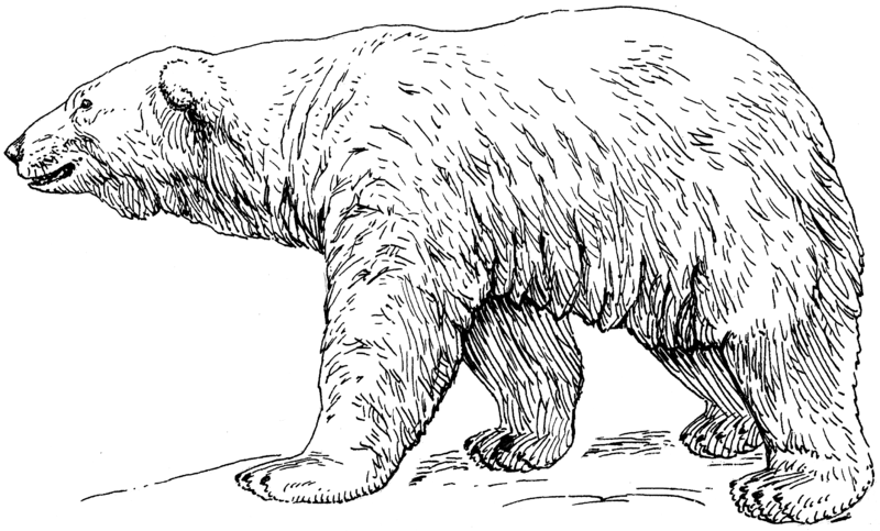 google polar bear coloring pages - photo#36