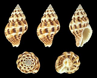 species of mollusc