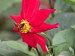 Pollinator 1 (28994198815).jpg