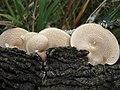 Polyporus arcularius (Batsch) Fr 214814.jpg