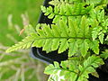 Polystichum tsus-simense frond.jpg
