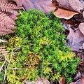 Polytrichum formosum & Thuidium sp.jpg