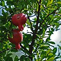 Pomegrate georgia2009.jpg