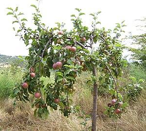 Яблоко от яблони разказ