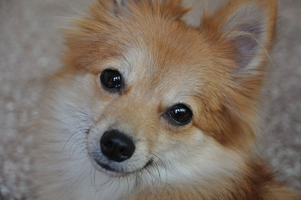 File:Pomeranian Dog - Kolkata 2011-10-31 6419.JPG ... Pomeranian Wiki