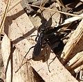 Pompilid Wasp (32058849534).jpg