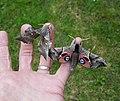 Poplar Hawk-moth & Eyed Hawk-moth (42168872872).jpg