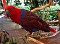 Port Douglas Eclectus Parrot-1 (8233734381).jpg