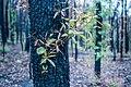 Post bushfire epicormic regrowth in eucalyptus, Blue Mountains, NSW, Australia 07.jpg