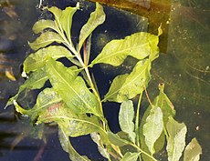 Potamogeton lucens Prague 2012 1.jpg