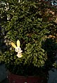 Potted Chamaecyparis pisifera cultivar with toy rabbit - panoramio (1431).jpg
