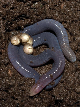 Presumed Microcaecilia dermatophaga mother with eggs - journal.pone.0057756.g006-left.png