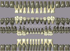 Dental notation - Image: Primary dentition