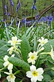 Primroses and Bluebells in King's Wood - geograph.org.uk - 161450.jpg