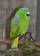 Green parrot with yellow under-tail and blue shoulders and crown