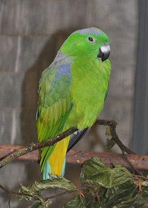 Buru racket-tail - Male at Walsrode Bird Park