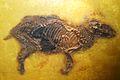 Propalaeotherium parvulum 1.jpg