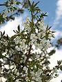 Prunus avium 03.JPG