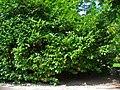 Prunus laurocerasus 001.JPG