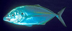 Pseudocaranx dentex (White trevally).jpg