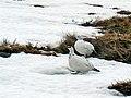 Ptarmigan on Beinn Chuirn - geograph.org.uk - 339986.jpg