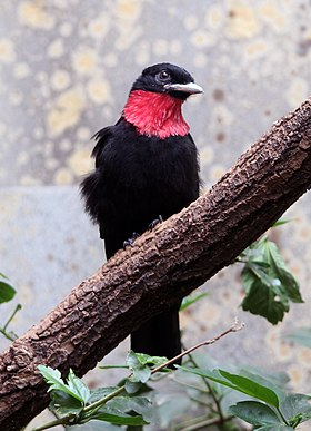 Purple-throated fruitcrow.jpg