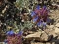 Purple sage, Salvia dorrii var. dorrii (26518209904).jpg