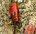 Pyrrhocoris apterus - fire bug - Feuerwanze 03.jpg