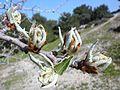 Pyrus spinosa 000 110 764 O.jpg