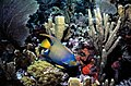 Queen Angelfish at John Pennekamp Coral Reef State Park Key Largo, Florida.jpg