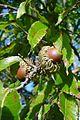 Quercus acutissima BW-1237024.jpg