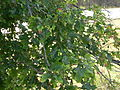 Quercus ellipsoidalis Mack Lake Mio MI.jpg
