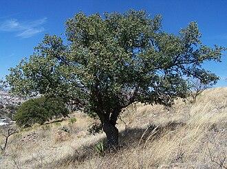 Quercus emoryi - Image: Quercus emoryi (2008)