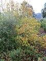 Quercus faginea xQ. coccifera habitus 2009December07 DehesaBoyaldePuertollano.jpg