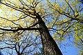 Quercus prinus 26zz.jpg