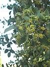 Quillaja saponaria12