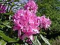 Raasay Rhododendron.jpg
