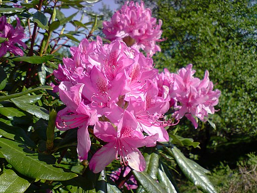 Raasay Rhododendron