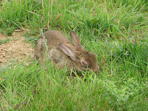 Rabbit with mixymatosis