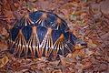 Radiated Tortoise (Astrochelys radiata) (10292092024).jpg
