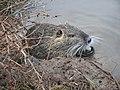 Ragondin (Myocastor coypus) (02).jpg