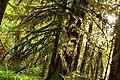 Rain forest, Olympic National Park.jpg